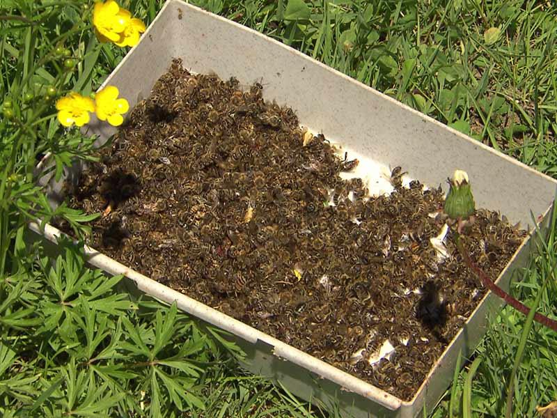 Insektizide Bienentod Lavanttal Neonicotinoide
