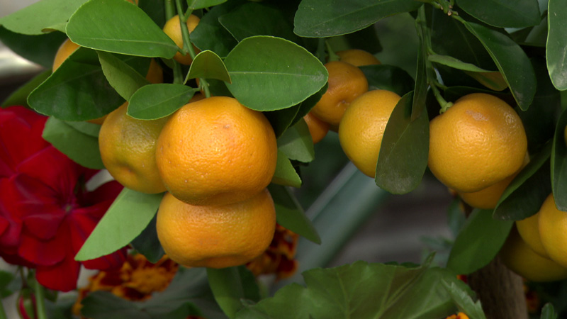 Mandarinenbäumchen mit Pelargonie und Targetes