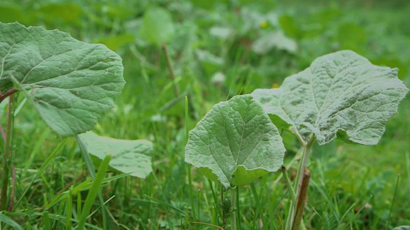 Pestwurzpflanze