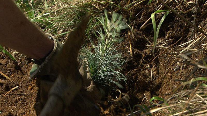 Zirbe einpflanzen