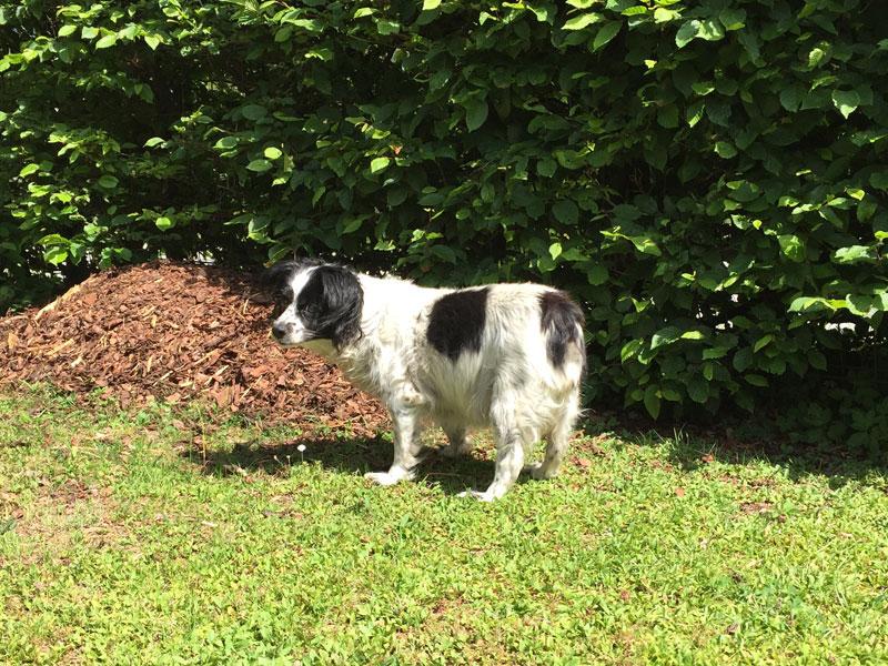 Schwarz-weißer Hund auf einer grünen Wiese