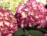 Hortensien verschiedenfärbig