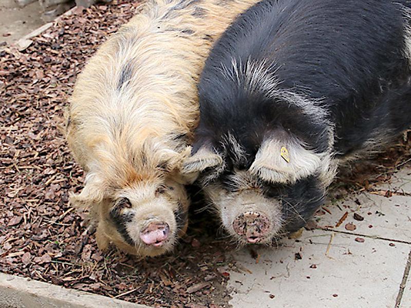 Kunekune Wilma und Robbie