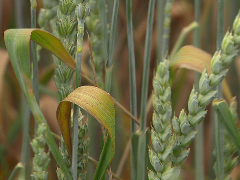 Trockene Getreidefelder