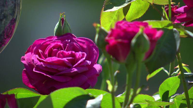 Heidi-Klum-Rose