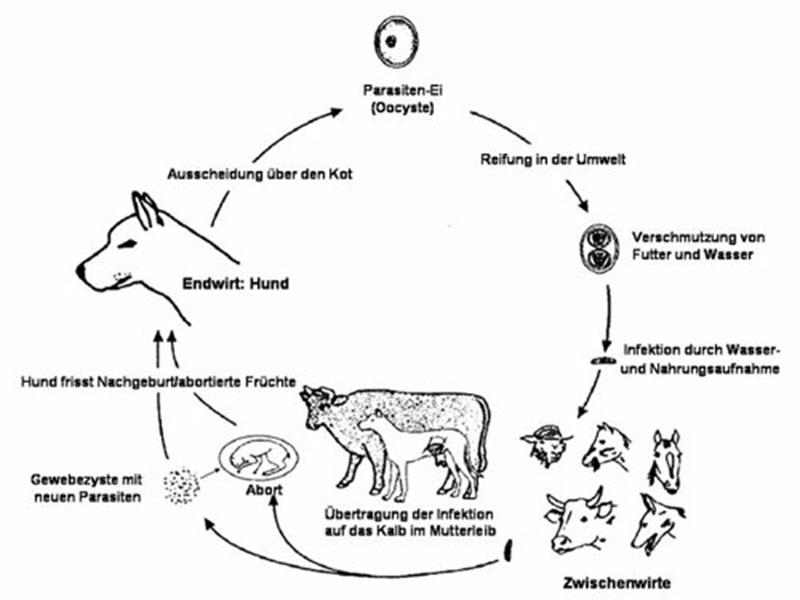 Entwicklungszyklus von N. caninum