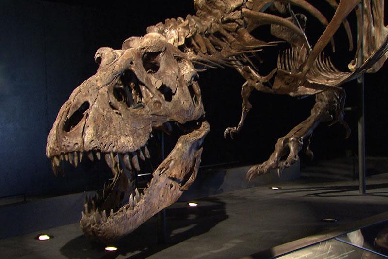 Echtes T-Rex-Skelett in Henndorf ausgestellt - salzburg.ORF.at