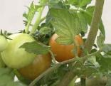 Tomatenpflege im Sommer