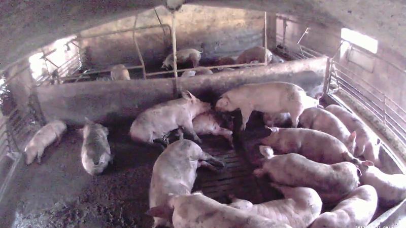 Totes Schwein in Stall