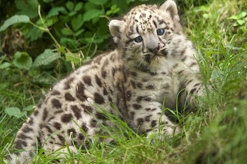 Schneeleoparden Baby (Kater Kiran)