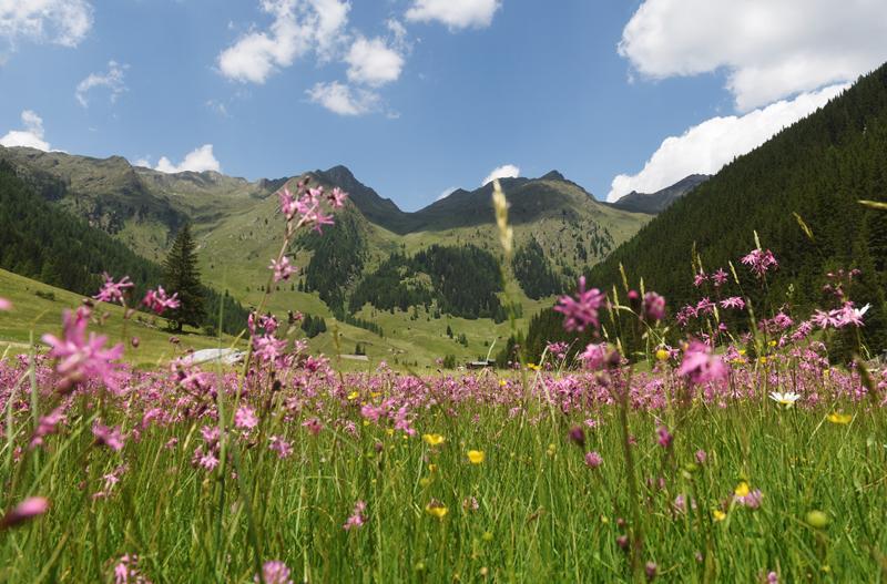 Ober- und Unterstalleralm Bild 5: Blumenwiese mit rosa Blumen