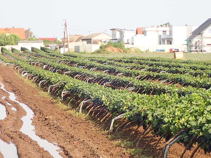 Schäden im Weingarten