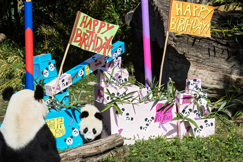 Pandabären Geburtstag