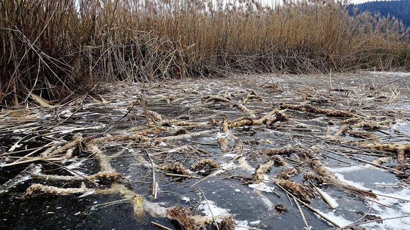 Turnersee Rhizome Seerosen