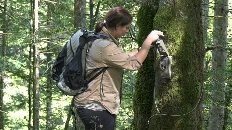 Fotofalle für Luchs, Wald