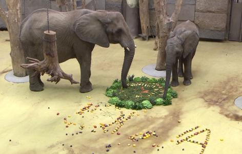 Vierter Geburtstag von Elefantenkuh Iqhwa