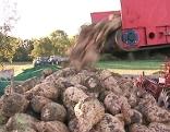 Rübenernte und Situation der Rübenbauern