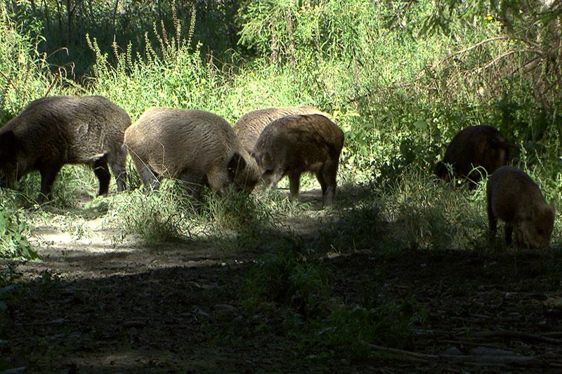 Wildschweine in der Antheringer Au
