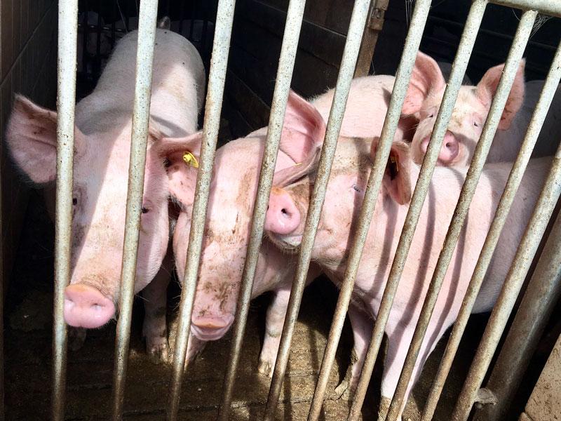 Schweine hinter Gitter, Schweinepest