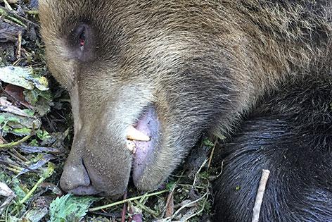 Bär angefahren tot gailtal Feistritz Vorderberger Straße