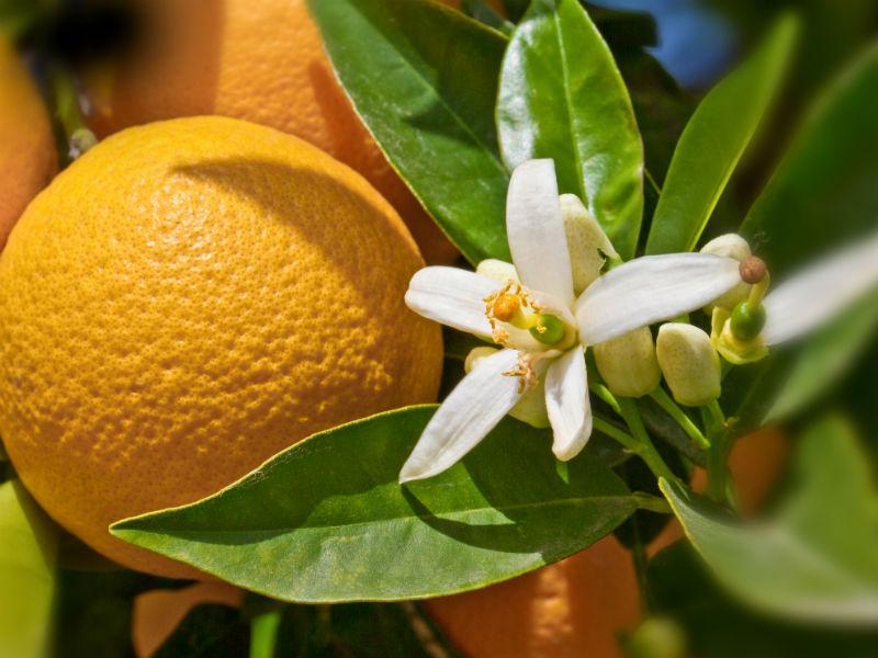 Orange Blüte Orangenblüte