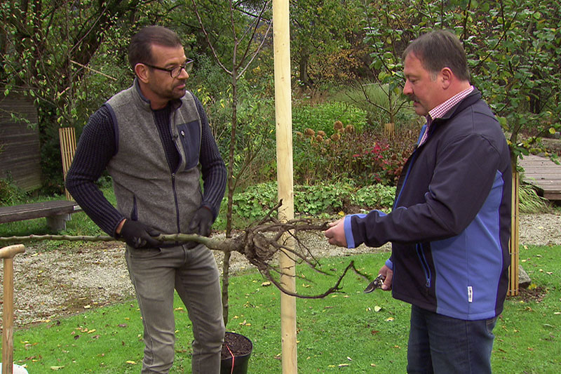Karl Ploberger und Josef Heinrich beim Pflanzen eines Birnbaums