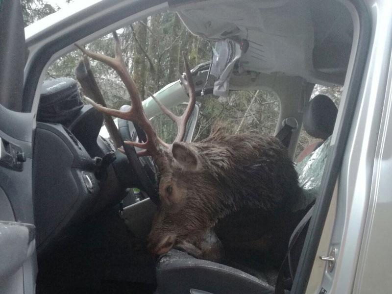 Hirsch in Auto