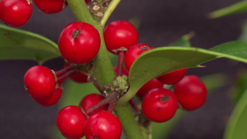 Ilex - Stechpalme - als Adventschmuck