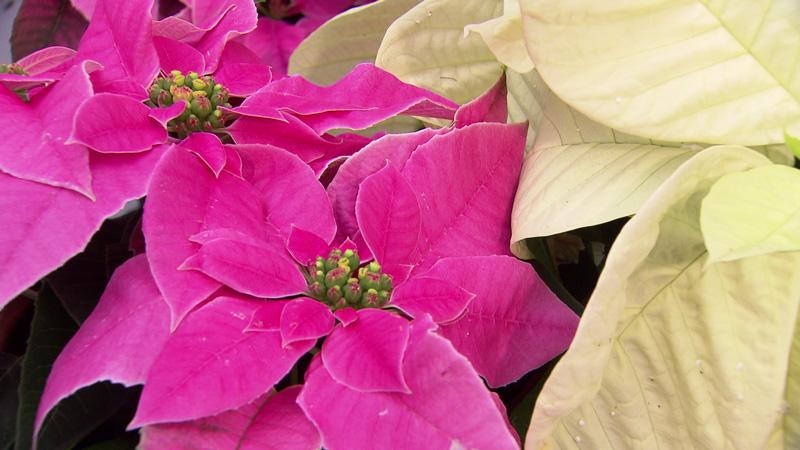 Weihnachtsstern in pink und weiß