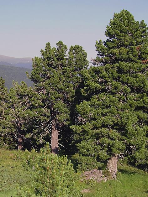 Kiefern Pinus cembra Rosental