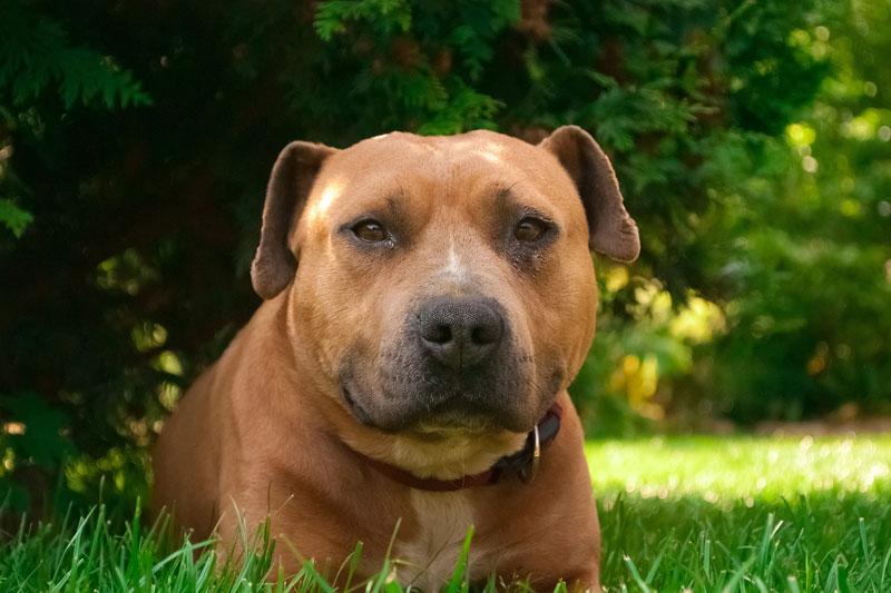 Symbolfoto Staffordshire Terrier (Amstaff)
