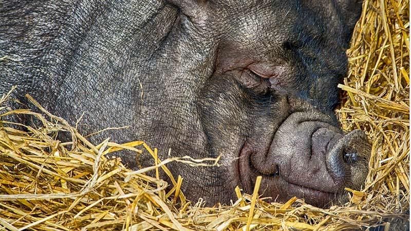 Schwein Hängebauchschwein schlafend