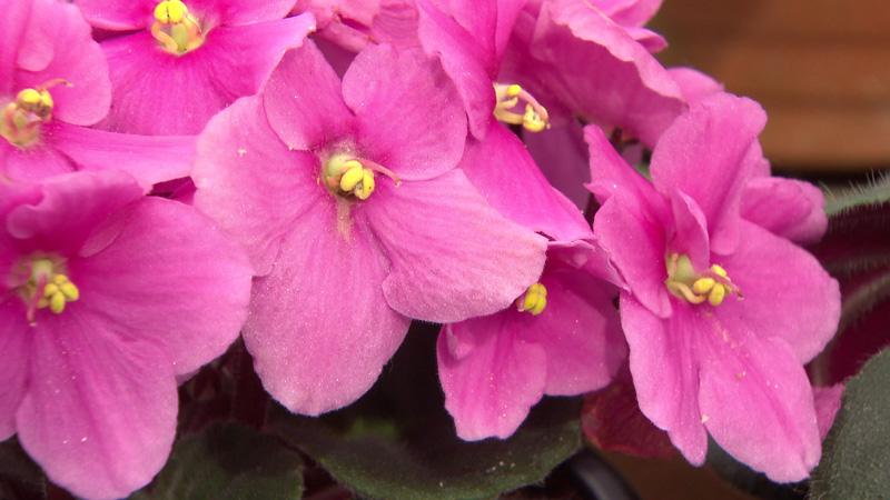 Usambaraveilchen in rosa