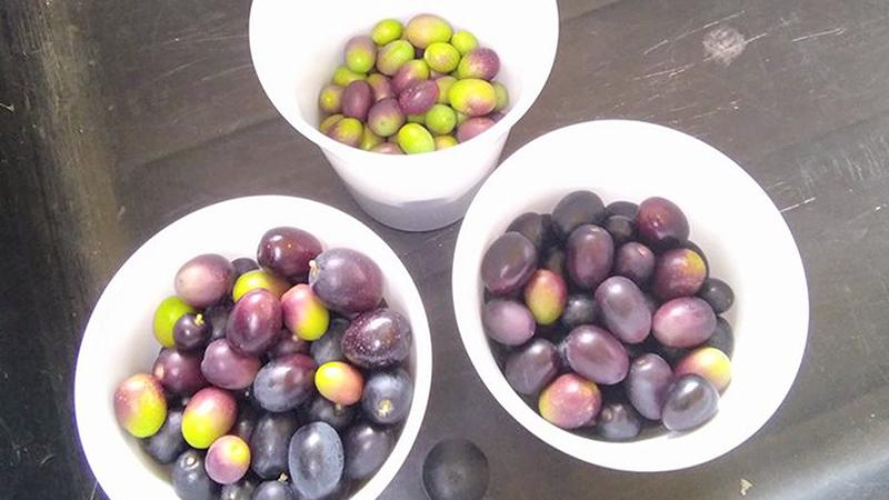 Oliven, Mörbisch