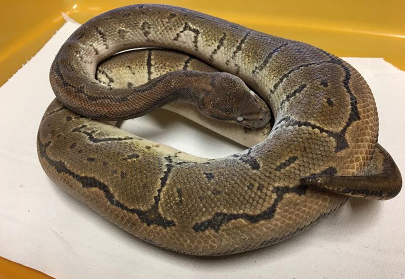 Tote Python, zusammengerollt
