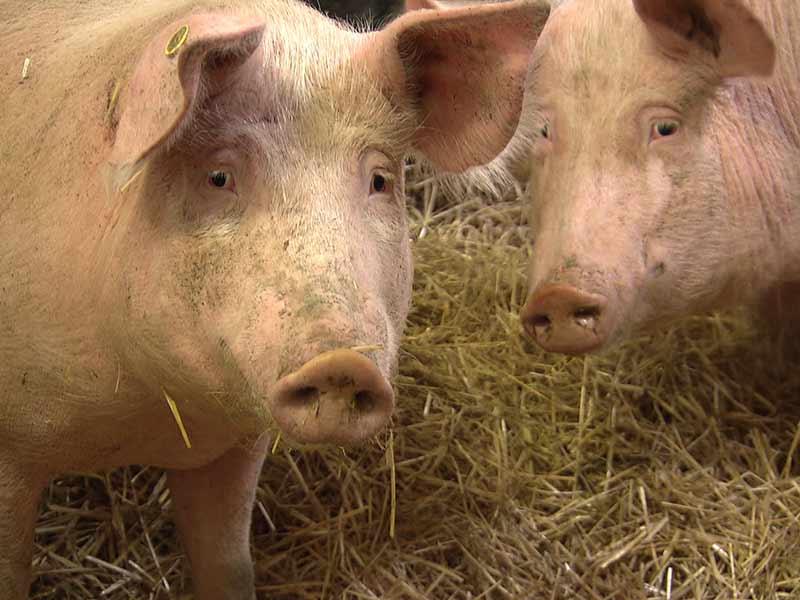 Schweinemast Kontrolle
