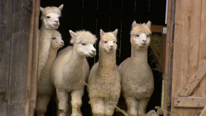 Vier Alpakas