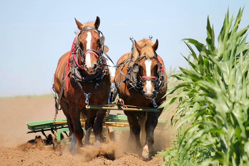 Pferd vor Pflug gespannt