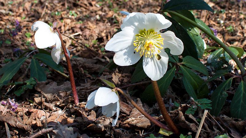 Winterblüher Erlebnis Natur Christrose Schneerose