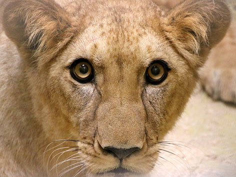Löwin Amira