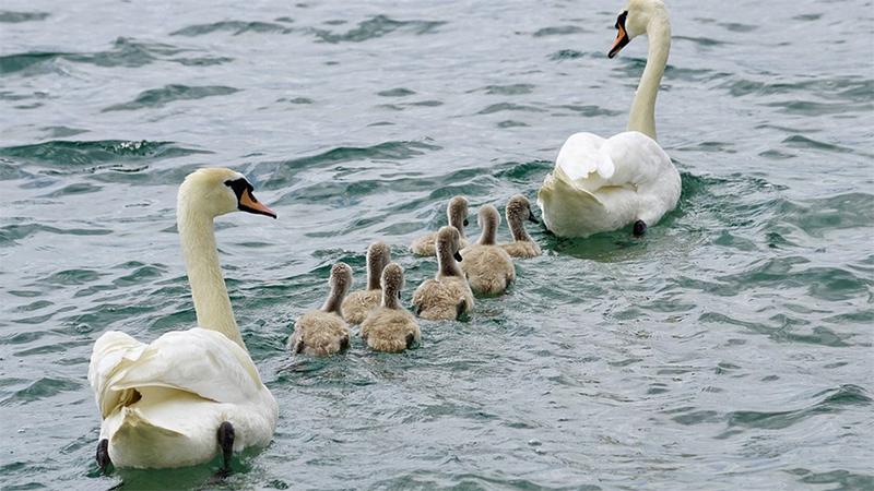 Schwan Küken Familie