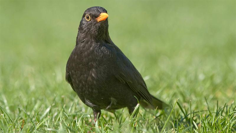 Vogelfrühling Balz Amsel Männchen