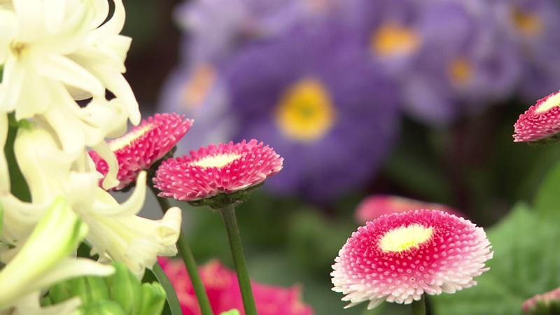 Gefüllte Gänseblümchen