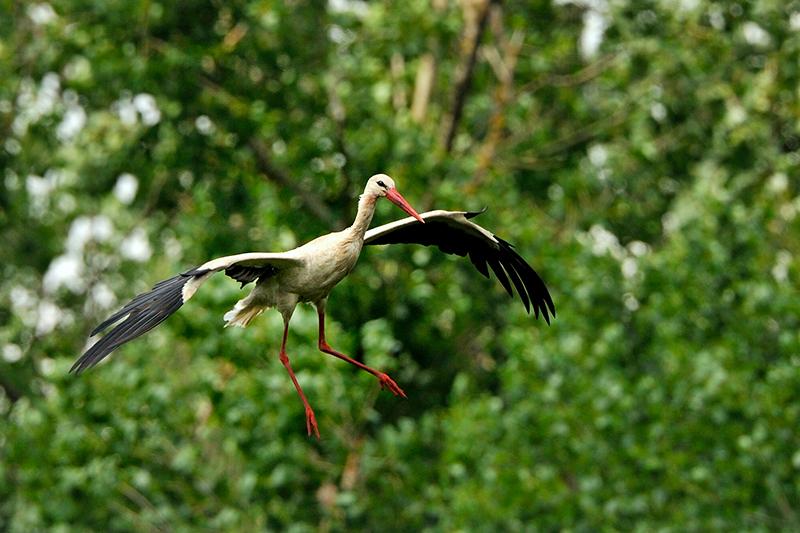 Erster Storch Marchegg
