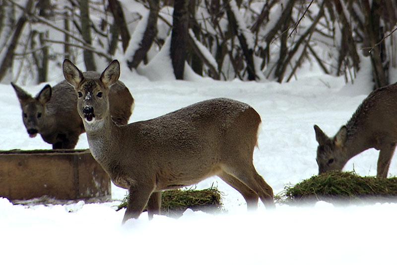 Rehe an Fütterungsstelle im Schnee