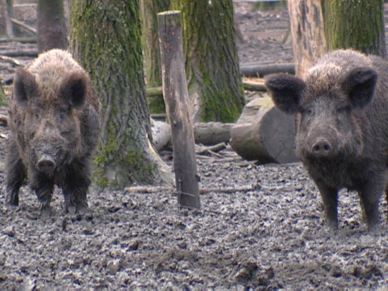 Wildschwein Lebendfalle