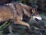 Wolf läuft durch Wald