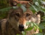 Wolf in Gehege