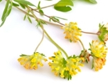 Traganthwurzel (Astragalusblüte)