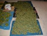Zelte für Cannabis